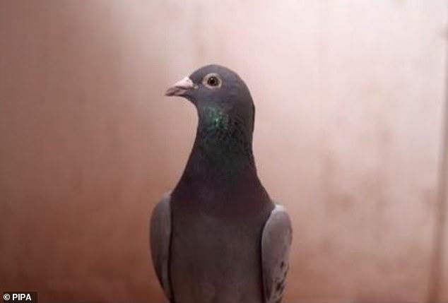 کبوتر New Kim که نژادی بلژیکی دارد بعد از 300 پیشنهاد خرید اکنون 1,178,705 پوند را به عنوان آخرین قیمت پیشنهادی خود می بیند در حالی که 9 روز دیگر تا شرکت در این حراجی آنلاین باقی است.