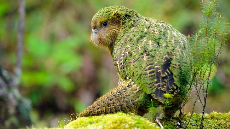 کاکاپو ؛ سنگین ترین طوطی جهان که پرنده سال ۲۰۲۰ نیوزیلند شد + ویدیو