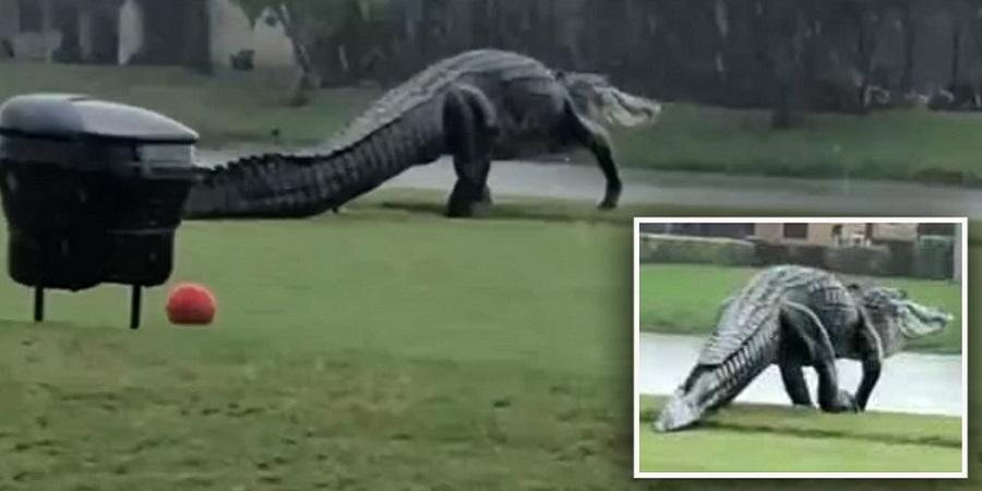 جولان تمساح غول پیکر در زمین گلفی در فلوریدا + ویدئو