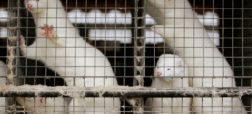 معدوم سازی ۱۷ میلیون راسو در دانمارک به دلیل ابتلا به نوع جهش یافته ویروس کرونا