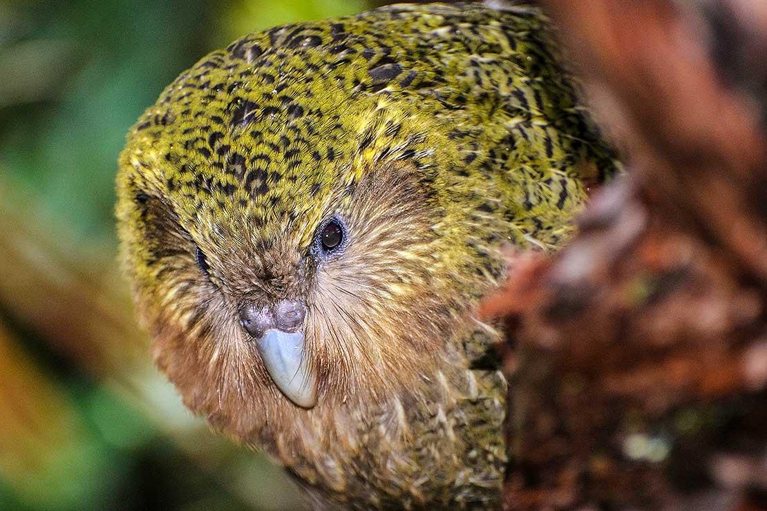 کاکاپو (kākāpō) سنگین ترین طوطی جهان است که بیشترین میزان عمر را در میان پرندگان داشته و در سال 2008 عنوان پرنده سال نیوزیلند را بدست آورد.