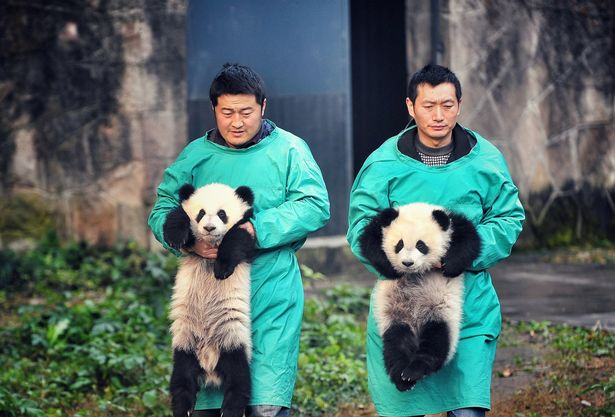 2 6 month old Giant Panda Twins Debut In Chongqing روزیاتو: مرگ پیرترین پاندای دنیا در سن ۳۸ سالگی اخبار IT