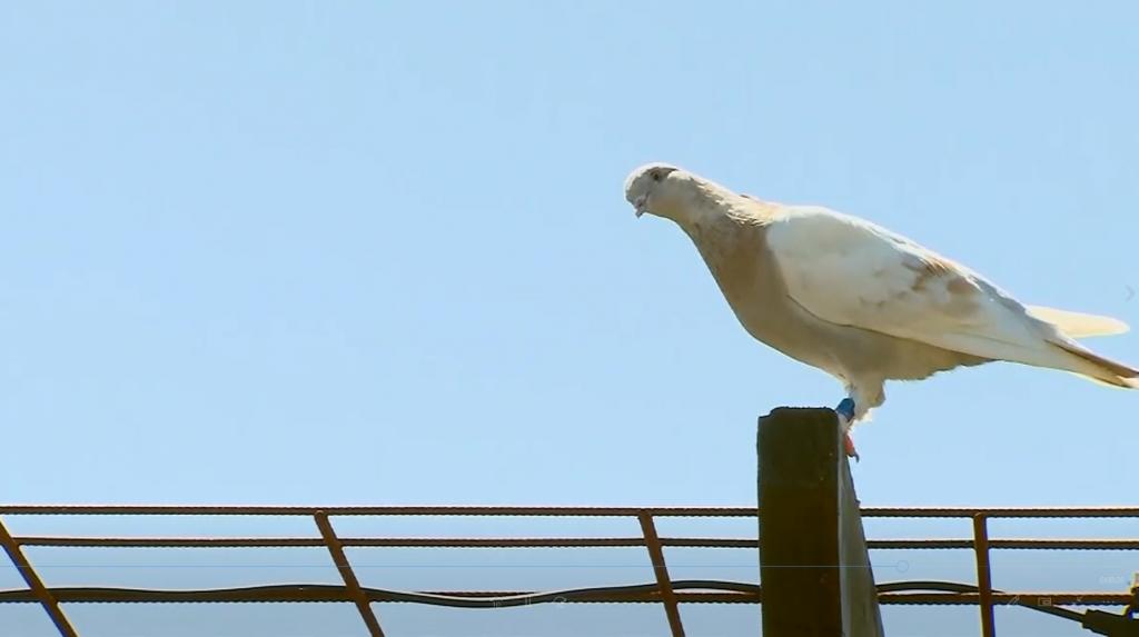 کبوتری به نام جو که در استرالیا پیدا شده و گفته می شد به دلیل ورود غیرقانونی کشته خواهد شد پس از اعلام جعلی بودن پلاکش از مرگ نجات یافت.