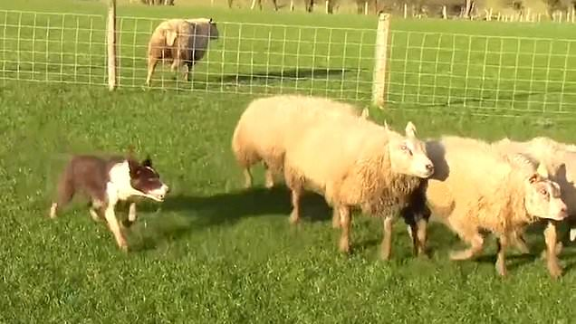 یک توله سگ ماده به نام کیم بعد از فروخته شدن در یک حراجی به قیمت 27,000 پوند به گرانقیمت ترین سگ گله جهان تبدیل شد.