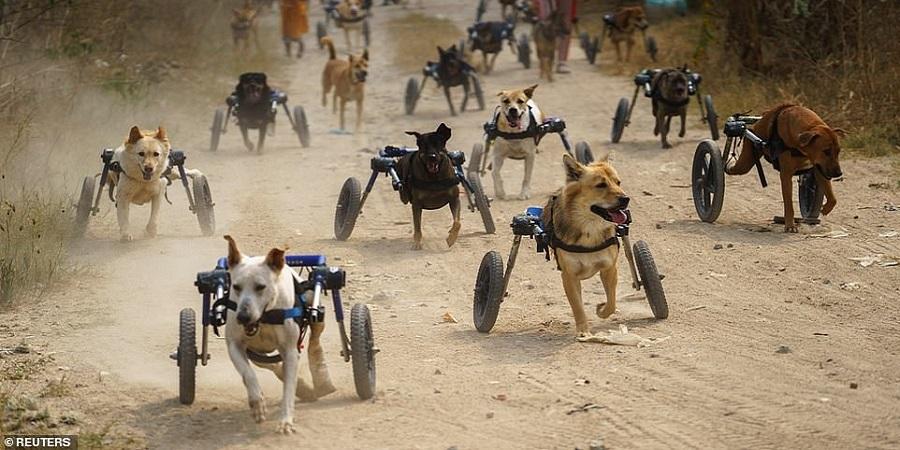 پناهگاهی در تایلند که برای سگ های معلول ویلچر می سازد