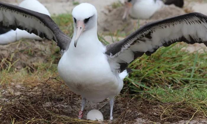 مادر شدن دوباره مسنترین پرنده وحشی دنیا در ۷۰ سالگی