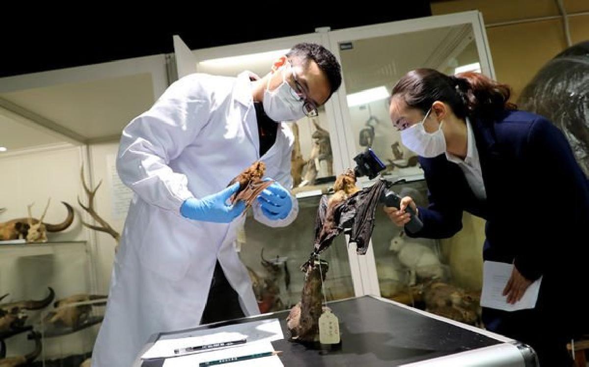 محققان دانشگاهی چین، ویروس خفاشی جدیدی را کشف کرده اند که به باور آن ها 94.5 درصد شبیه ویروس کووید-19 است.
