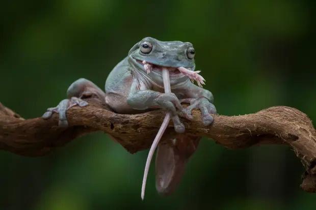 تصاویر فوق العاده ای از لحظه بلعیده شدن کامل یک موش توسط قورباغه ای گرسنه منتشر شده که آب از دهان جاری می کند!