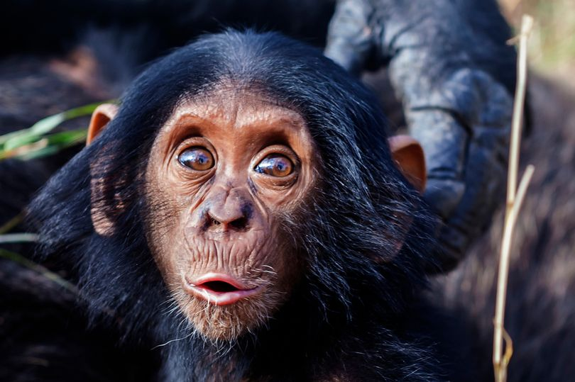 خلق اولین جنین نیم انسان، نیم میمون توسط دانشمندان آمریکایی و نگرانی اخلاق مداران
