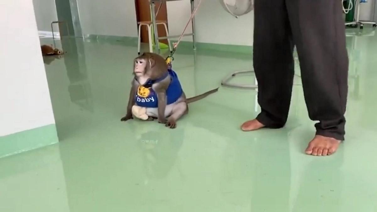 میمون چاق