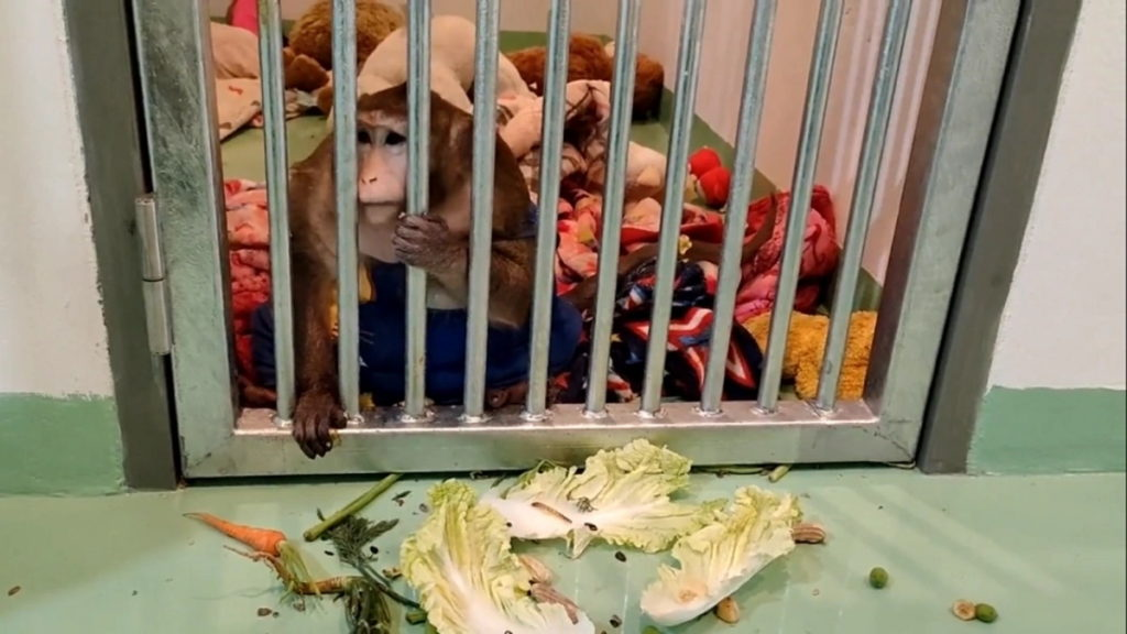 ماجرای گودزیلا؛ میمون چاقی که برای کاهش بیش از نیمی از وزنش باید رژیم غذایی بگیرد