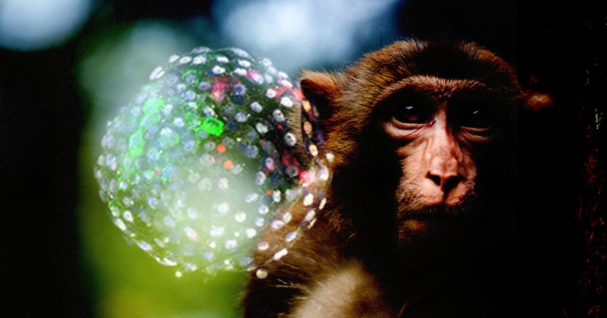 محققان موسسه Salk در کالیفرنیا به کمک سلول های بنیادین انسان، چیزی را خلق کرده اند که با عنوان کایمراهای میمون-انسان شناخته می شود.