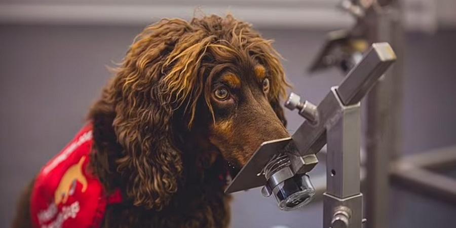 استفاده از سگ های بویاب برای تشخیص مبتلایان کرونا