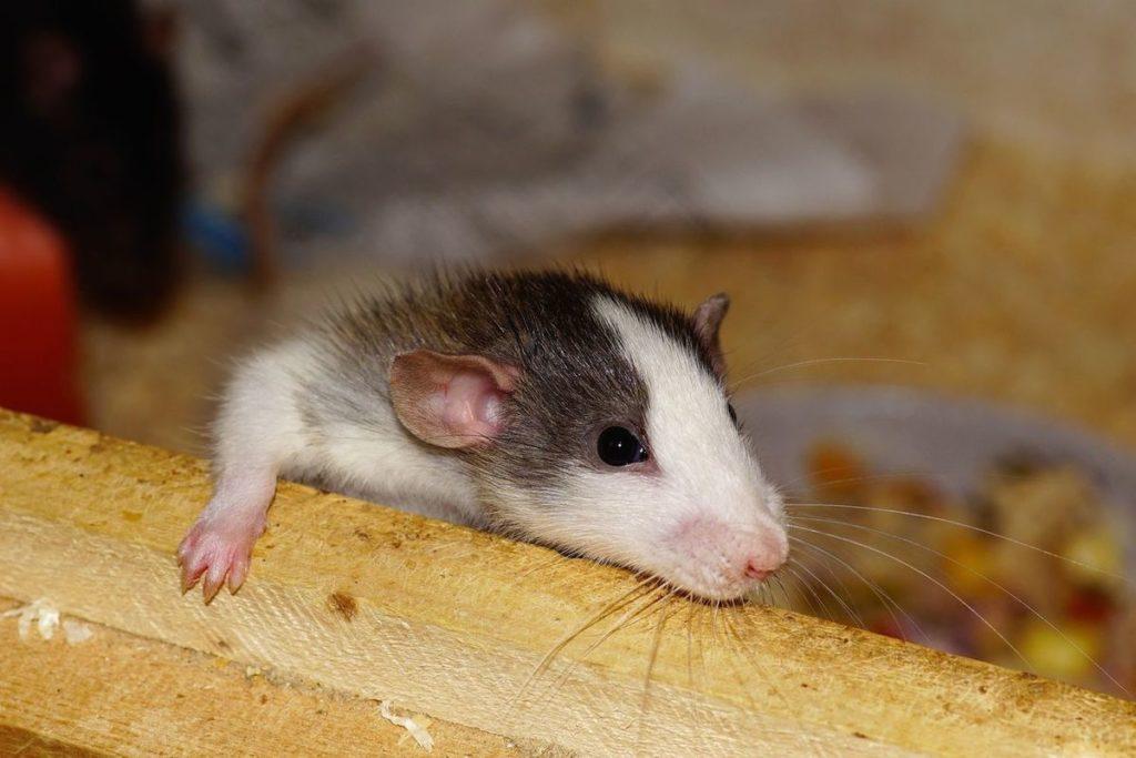 وادار کردن موش های نر به بارداری از طریق دوختن بدن موش های نر و ماده به یکدیگر