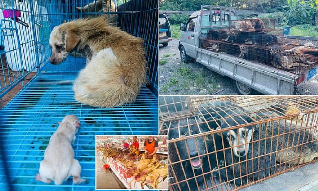 سرقت سگ های خانگی و باردار برای سلاخی در فستیوال گوشت سگ در چین + ویدیو