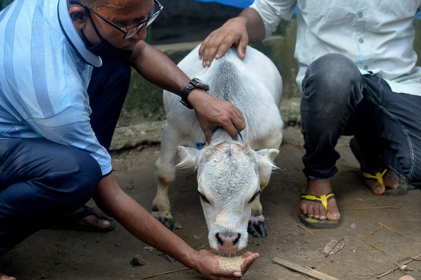 یک گاو کوچک که تنها 20 اینچ قد دارد و کوچکترین گاو جهان لقب گرفته، هزاران نفر را علیرغم شیوع کرونا به یک مزرعه دوردست در بنگلادش کشانده است.