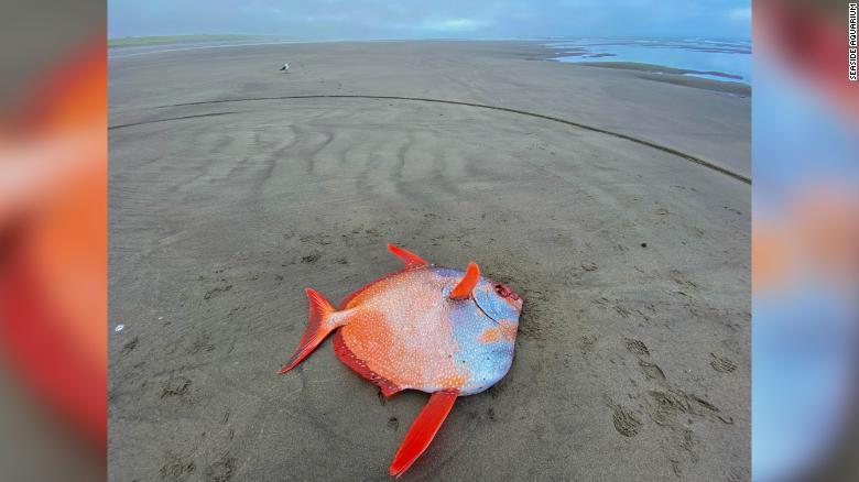 در یک اتفاق نادر، هفته گذشته یک ماهی رنگی غول پیکر در سواحل اوریگون پیدا شد. این ماهی 45 کیلوگرمی که از نوع ماهی اوپاه (opah) بود