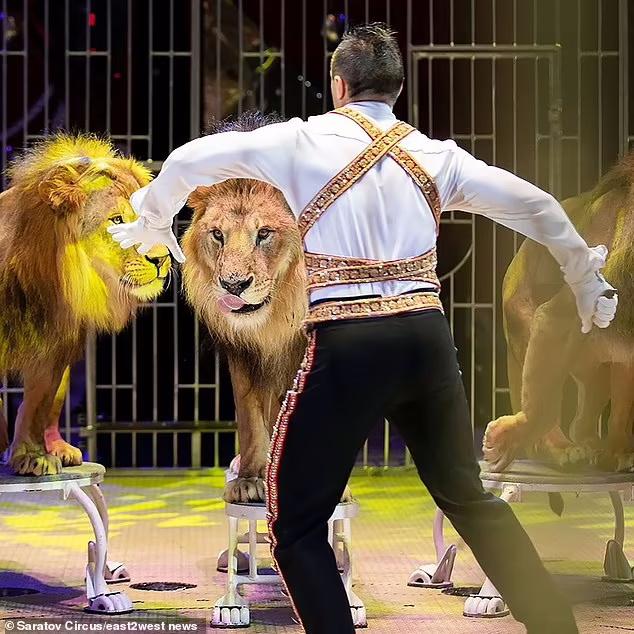 دعوای شدیدی که بین چند شیر نر در یک سیرک در روسیه رخ داد باعث شد حاضران در سالن با جیغ و داد از سالن فرار کنند.