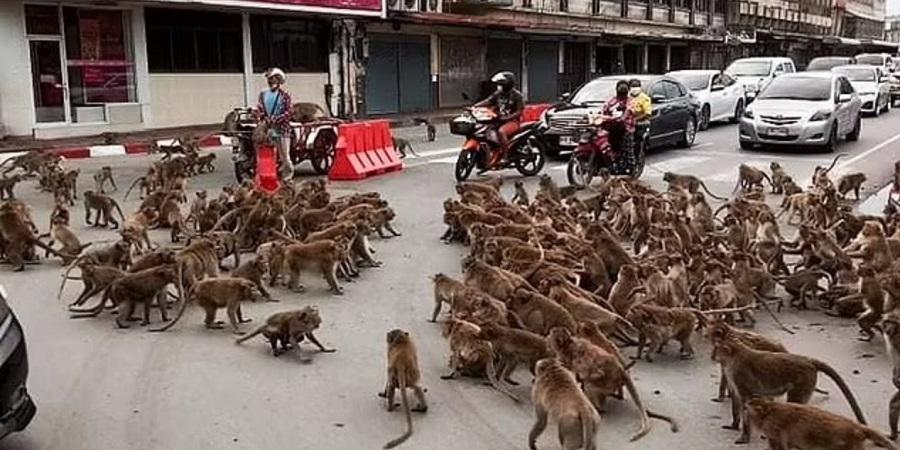 جنگ تن به تن میمون های رقیب در خیابان های تایلند + ویدئو
