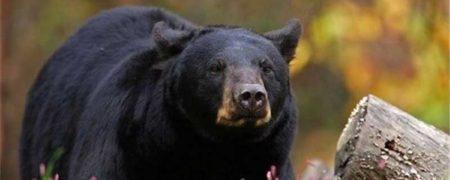 ورود خرس به مدرسه ای در هرمزگان + ویدیو