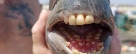 صید یک ماهی با دندان های آدمیزاد در کارولینای شمالی