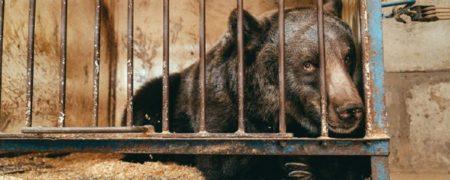 مرگ ناگهانی و اندوهناک تنها ترین خرس دنیا