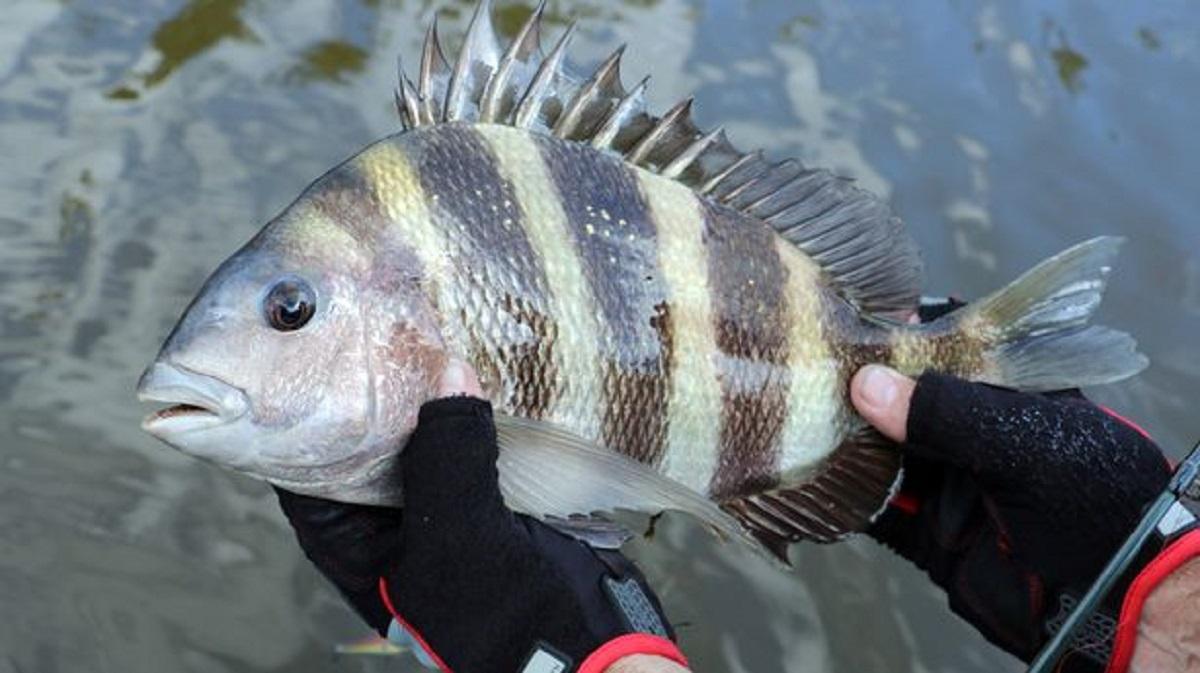 ماهی با دندان های آدمیزاد