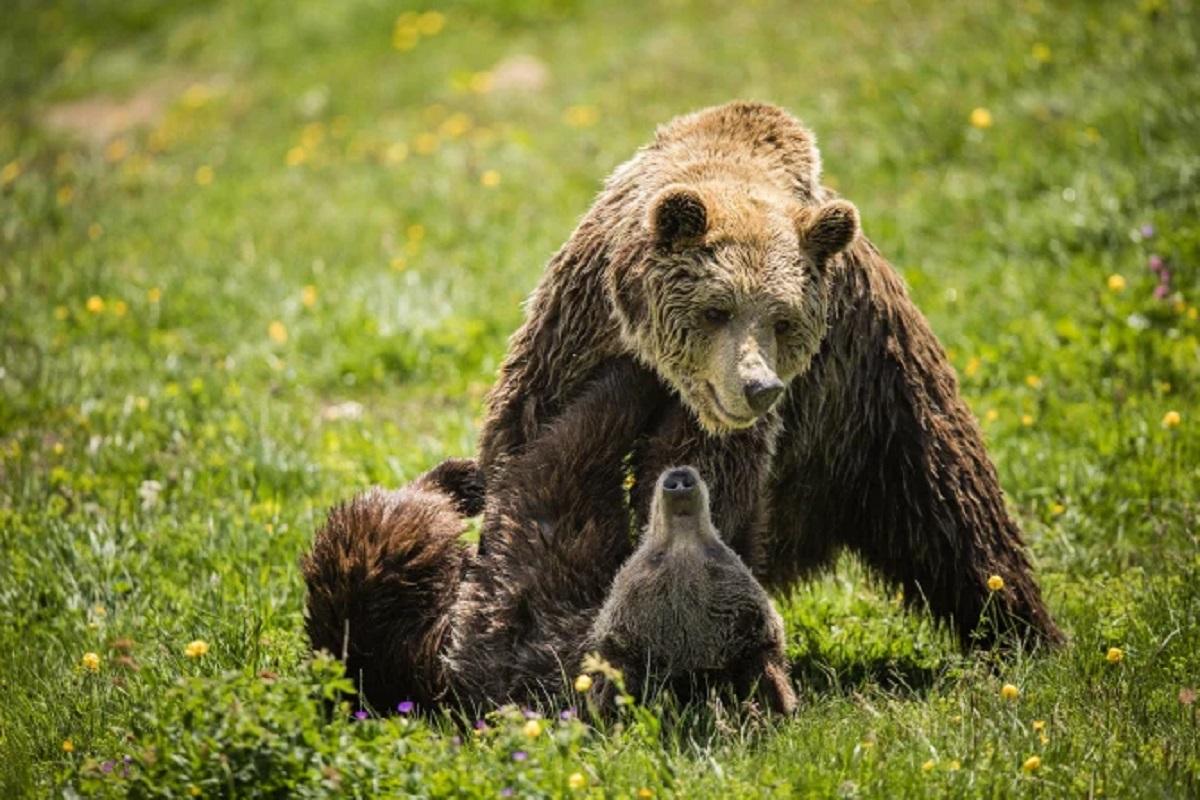 مرگ تنها ترین خرس دنیا