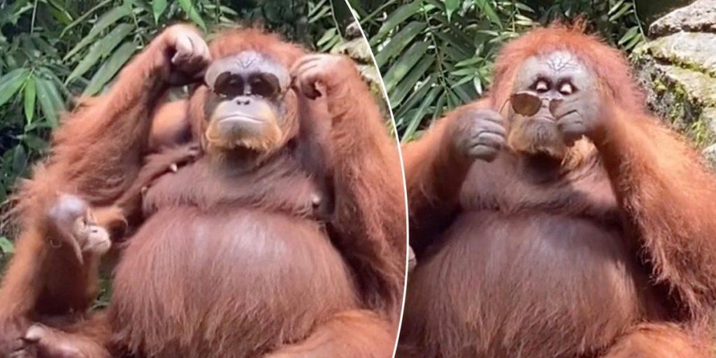 ویدئوی حیرت انگیزی از رفتارهای انسانی یک اورانگوتان که در فضای مجازی داغ شده