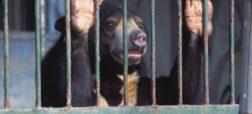 خرس مادر برای رهایی از «مزرعه کِشت کیسه صفرای خرس» خود و توله اش را کشت