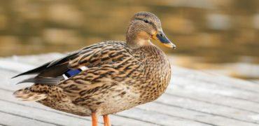 اردک بامزه ای که تکیه کلام صاحبش را تقلید می کند: «ای احمق لعنتی» + ویدیو