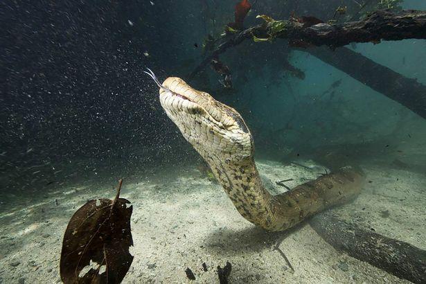 در منطقه آمازون در برزیل، گروهی غواص با یک آناکوندای سبز 20 فوتی که به لنز دوربین آن ها خیره شده است، چشم در چشم شدند.