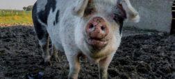 برای اولین بار در تاریخ؛ پیوند کبد خوک به انسان در آمریکا